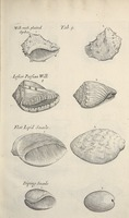 Musaeum Regalis Societatis, or A catalogue & description of the natural and artificial rarities belonging to the Royal Society and preserved at Gresham Colledge (Page 36)