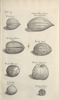 Musaeum Regalis Societatis, or A catalogue & description of the natural and artificial rarities belonging to the Royal Society and preserved at Gresham Colledge (Page 46)