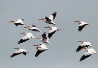 American White Pelicans flying