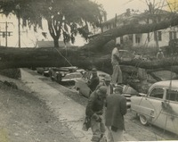 Workers Removing the Large Oak From the Car