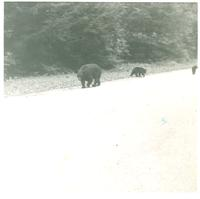Black bears along the side of a road