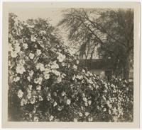 Large flower bush in front of a house