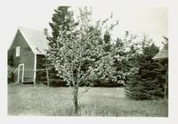 An apple tree in front of a cabin