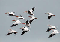American White Pelicans flying