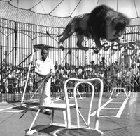 Animal trainer Swede Johnson with lion on high wire