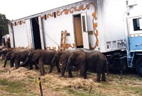 Baby elephants lined up
