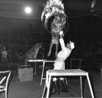 Trevor Bale with tigers and flaming hoop